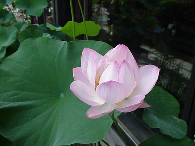 A Lotus To Represent A New Beginning Or A Hard Time In Life That
