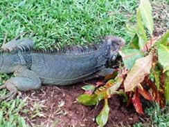 Iguana on Isla Coiba