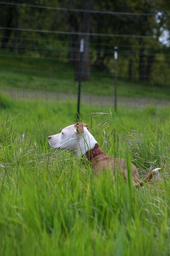 Pit Bull in Tall Grass