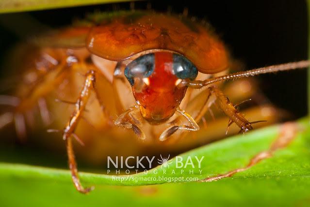 Cockroach (Blattodea) - DSC_0380