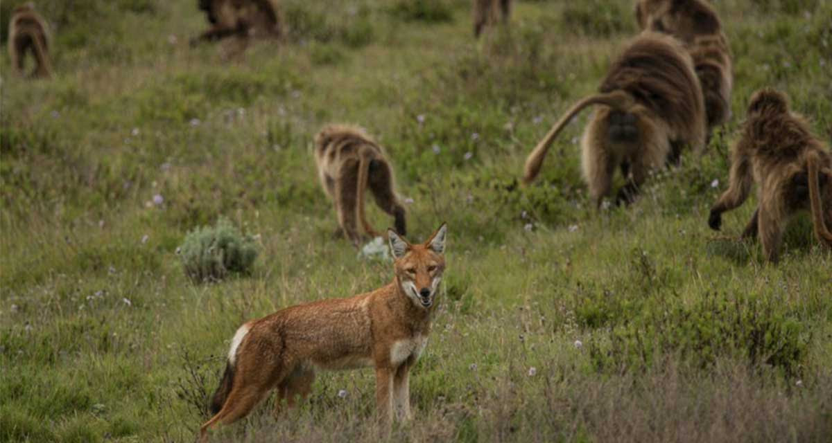 Estos Monos Parecieran Estar Domesticando A Un Grupo De Lobos