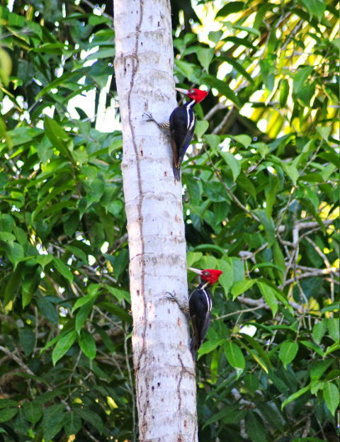 Pale Billed Woodpeckers