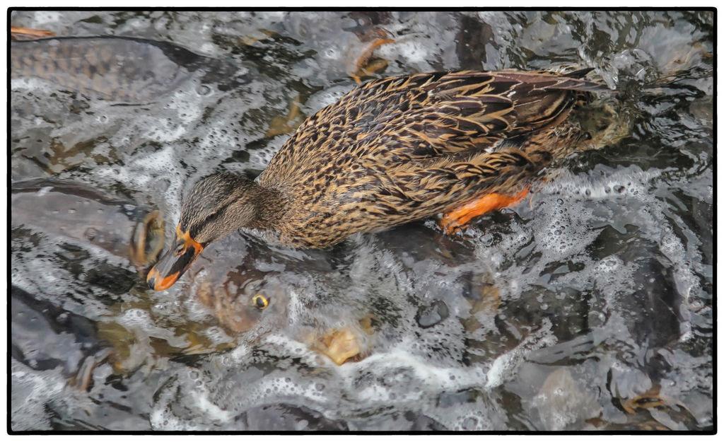 O vertedouro de Linesville: onde os patos caminham sobre peixes 06