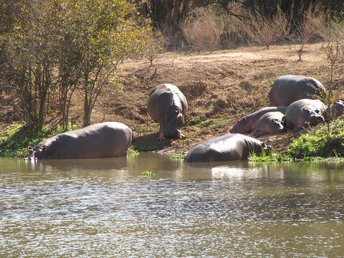 A pod of hippos  by CharlesRay2010