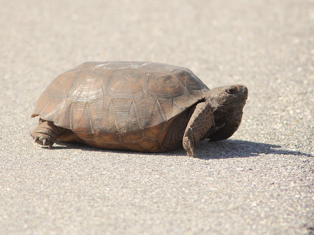 Gopher Tortoise in road 20130311