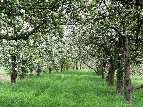 Kolkbrink 1 Apfelblüte