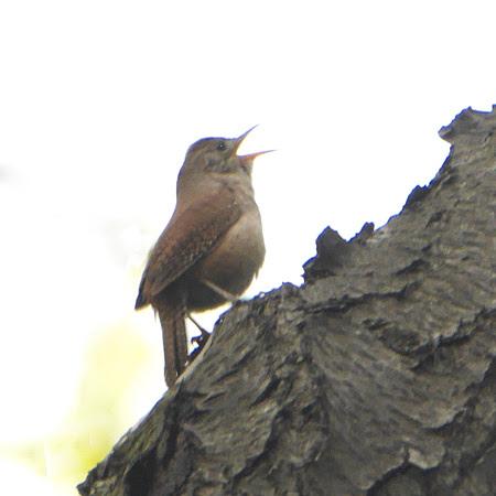 Ed Gaillard: birds &emdash; House Wren singing, Van Cortlandt Park