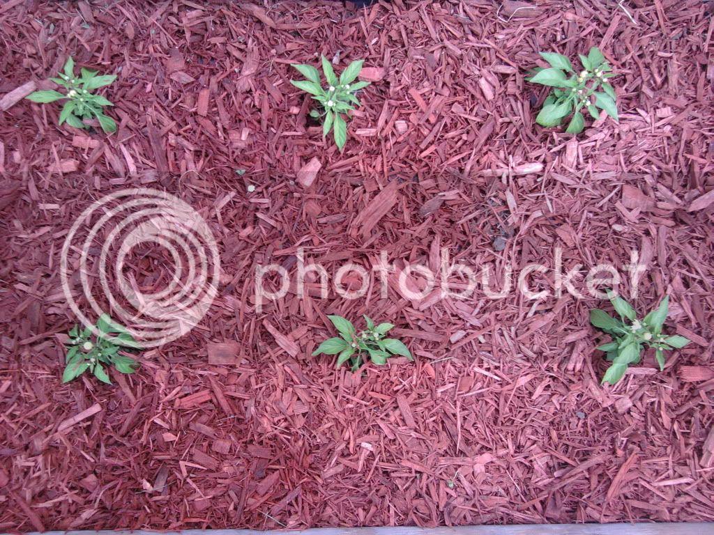 The pepper guy 39 s garden ornamental pepper plants used in for Ornamental trees for flower beds