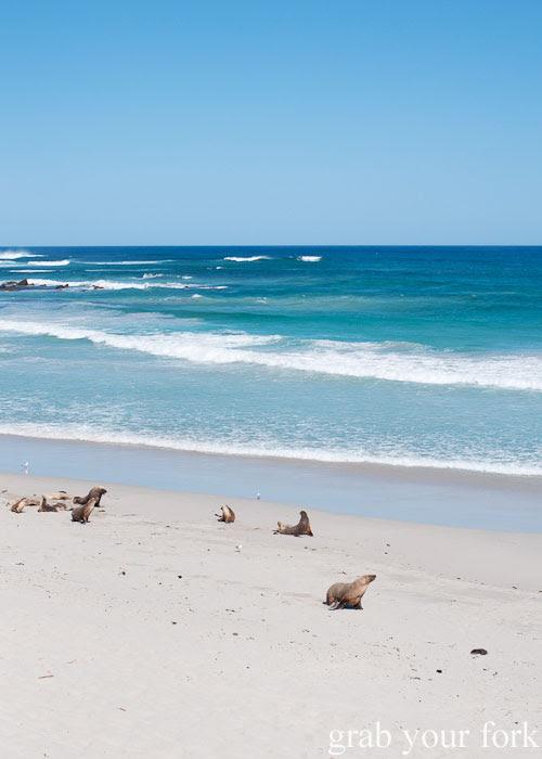 Seals and sea lions at Seal Bay Conservation Park, Kangaroo Island