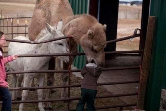 Καμήλες (2)