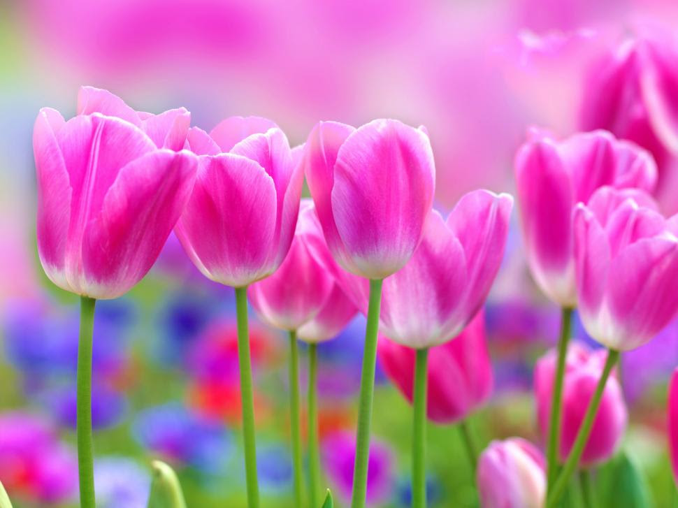 Beautiful Pink Tulips Flowers Blur Background Wallpaper Flowers