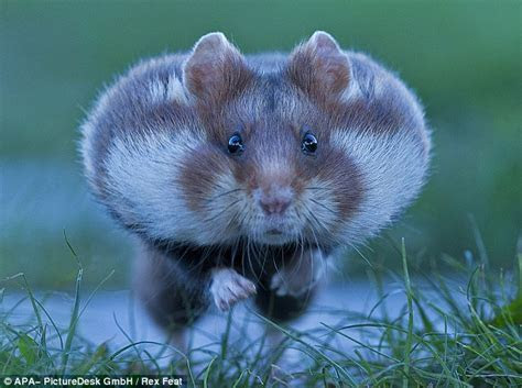 Hamster bites off more than it can chew as it scurries across cemetery with food stored in its