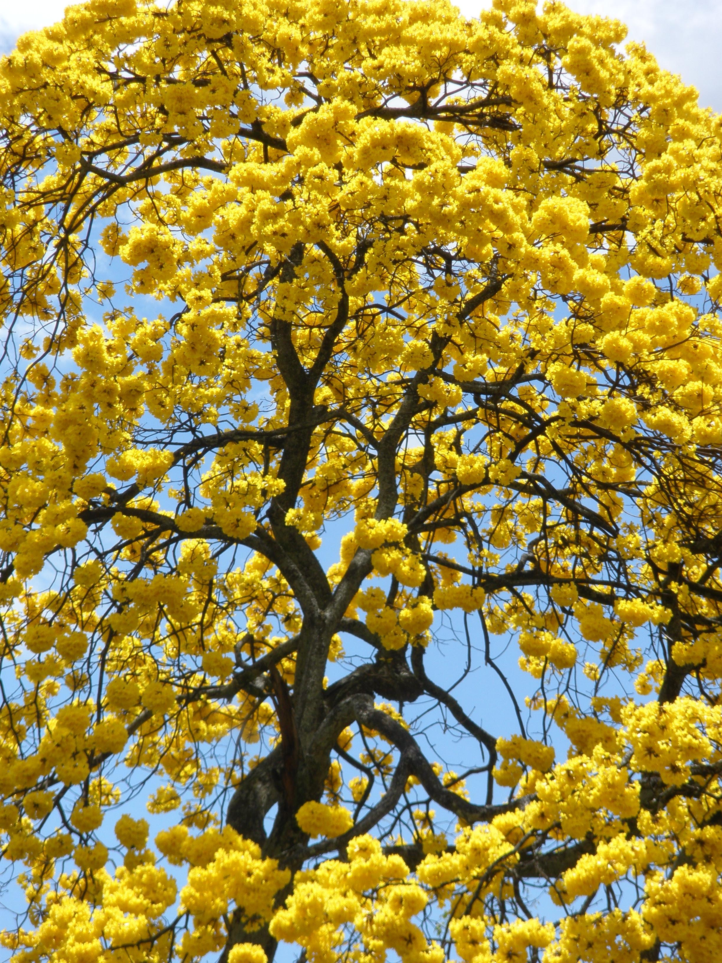 Guayacán amarillo / Tabebuia chrysantha