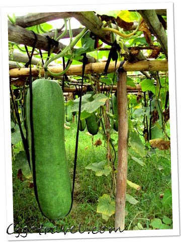 The long melon