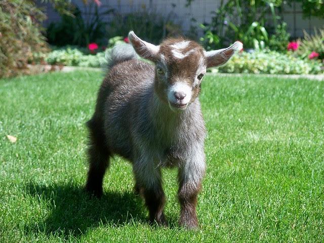 Pygmy Goat Kid.   www.TheBigWRanch.com