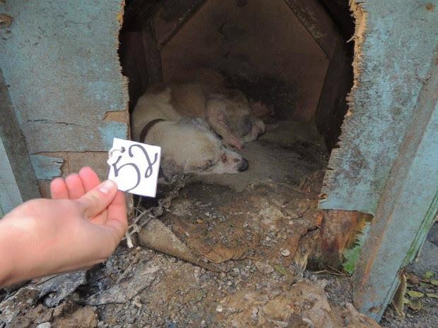 De acordo com as denúncias, cachorros ficavam amarrados em correntes de 50 cm (Foto: Soiane Rudnicki/ Arquivo Pessoal)