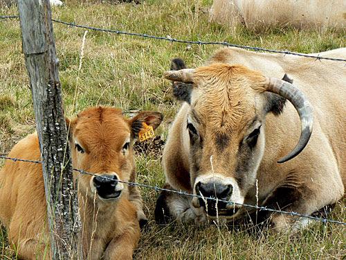 vache et son veau.jpg