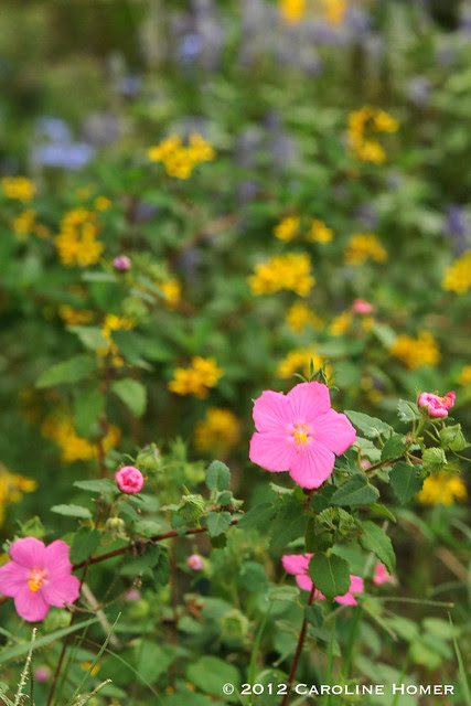 Rock rose, thyrallis, Mealy Blue sage, esperanza