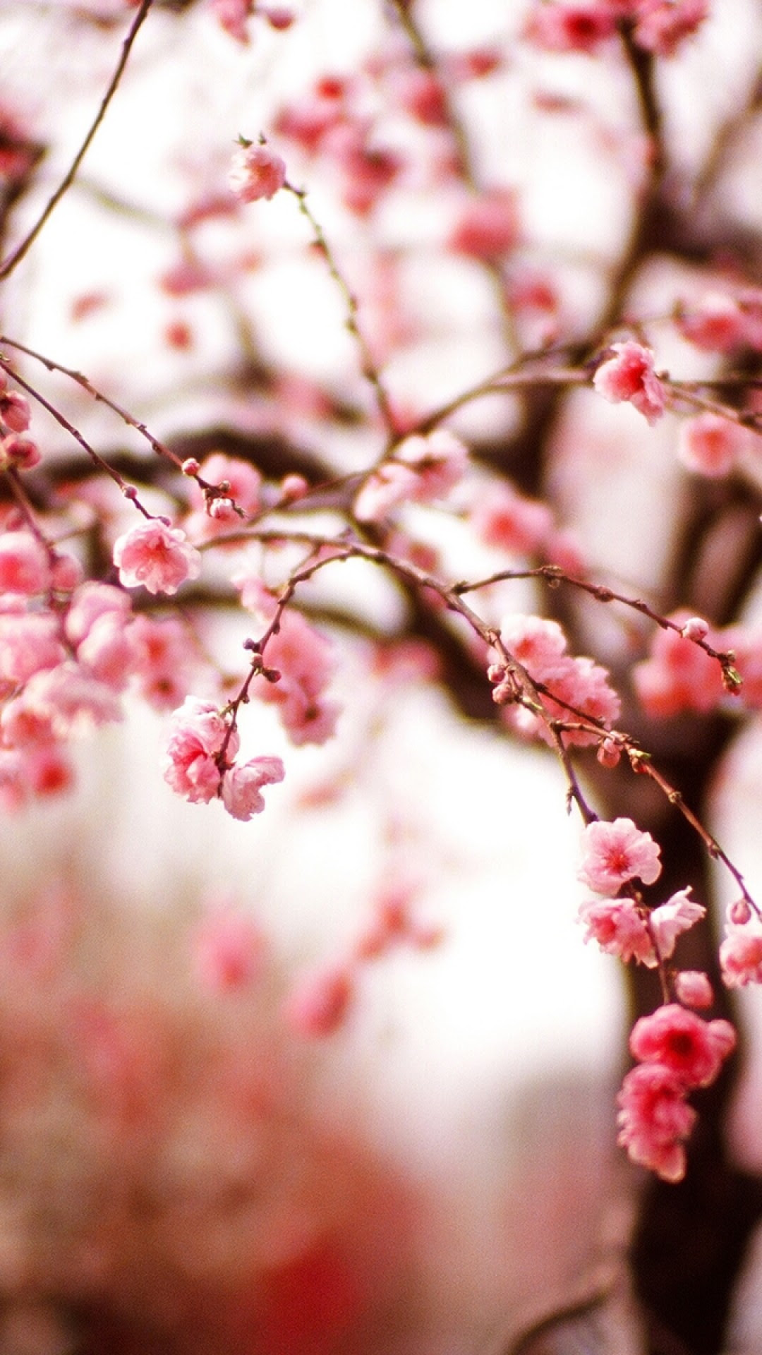 Cherry Blossoms iPhone Wallpaper (75+ images)
