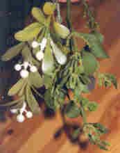 mistletoe01