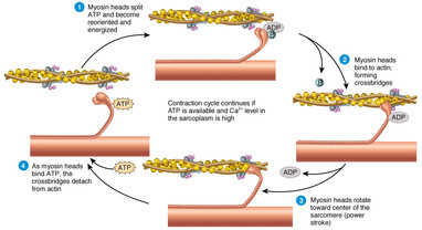 Sliding filament theory and types of contractions - Sonny ...