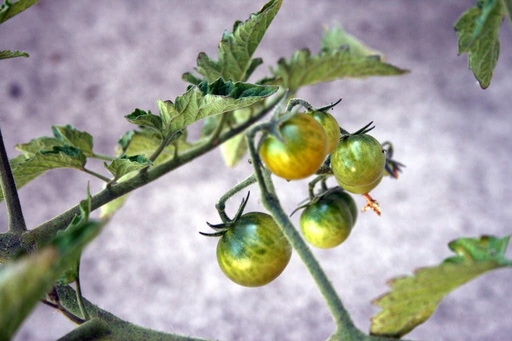 Anna's cherry tomatoes