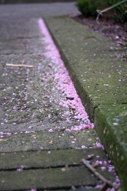 cherry petals, april 2011