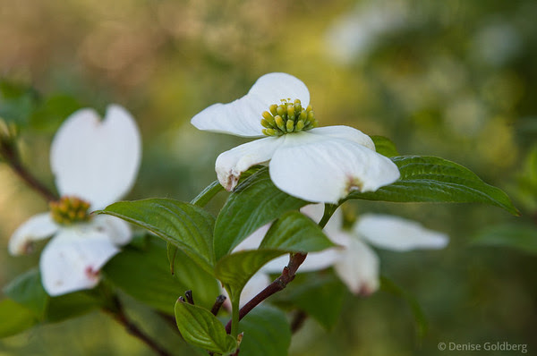 a dogwood in bloom