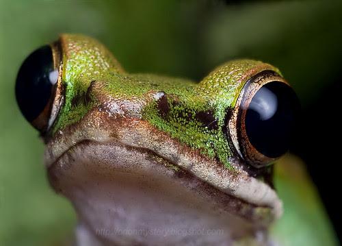 White lipped frog (Hylarana labialis)...IMG_9505 stacked copy