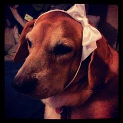 A Princess and her Bow #dogstagram #hound #adoptdontshop #rescue #dog