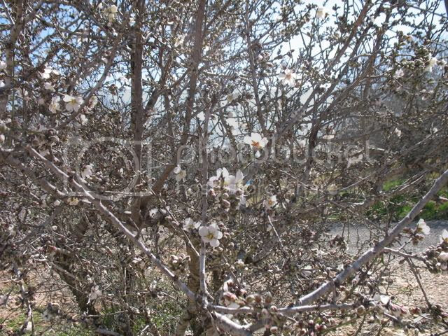 searching for almond blossoms 3