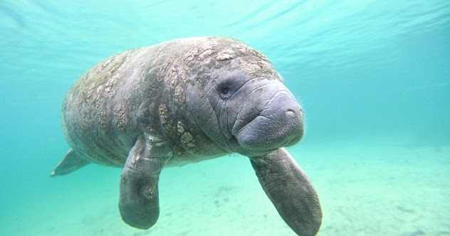 What is a sea cow? Sea cow definition and meaning in hindi
