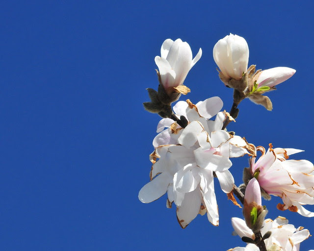 Magnolia (DS3_8643)
