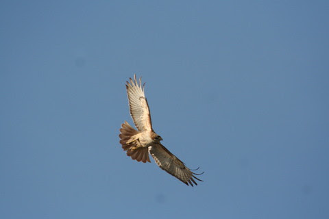 hawk+in+flight