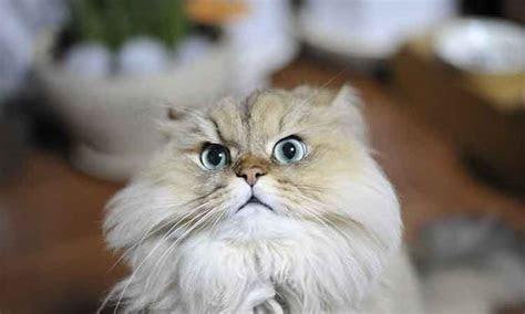 gambar kucing kartun lucu  imut anggora persia