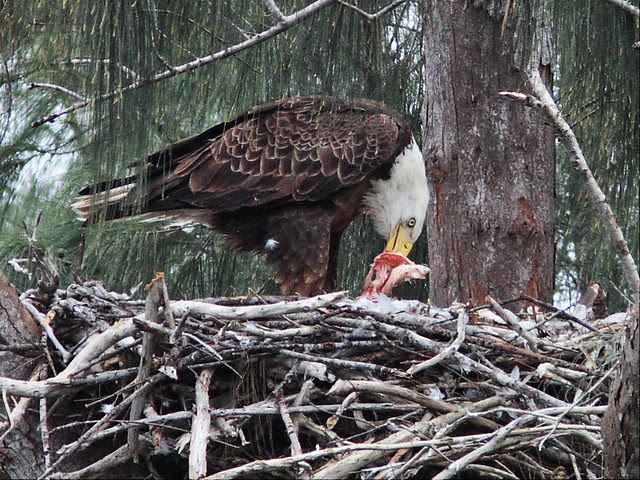 Bald Eagle female tearing at prey 2-20140121