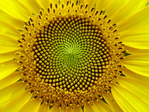 SunFlower: the Fibonacci sequence, Golden Section