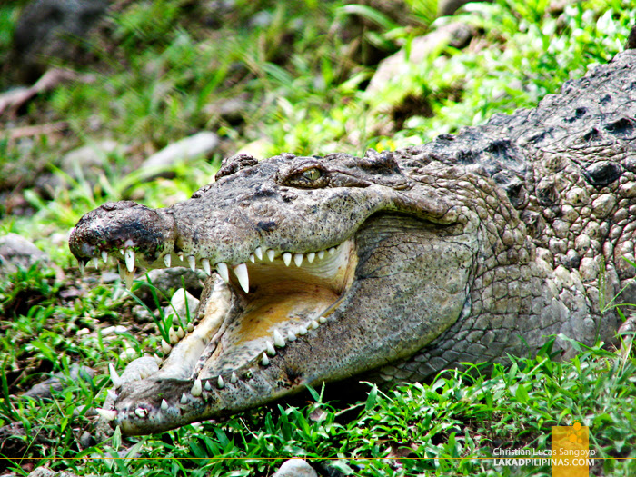 Live Crocs at Iligan's NPC Nature's Park