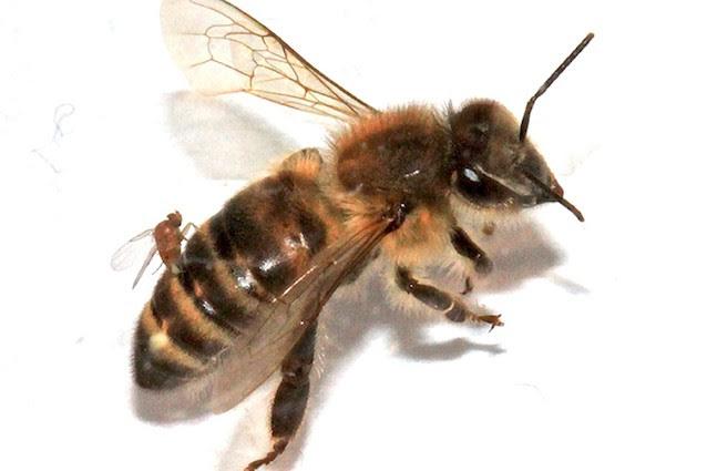 Le misteriose api zombie si stanno diffondendo negli USA: ecco chi sono