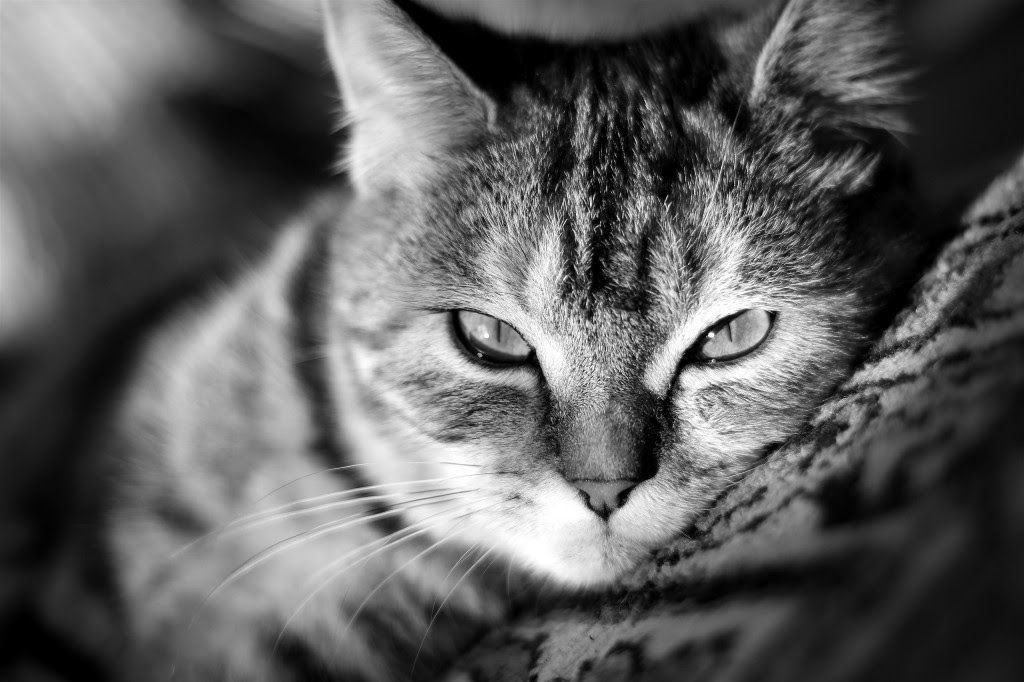 Cat Wallpapers High Quality | Download Free