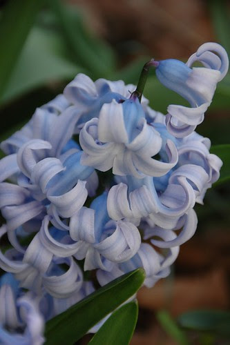 Heirloom Hyacinth 'Queen of the Blues'