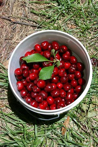 bucket o cherries