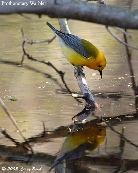 Prothonotary Warbler Ebirdr