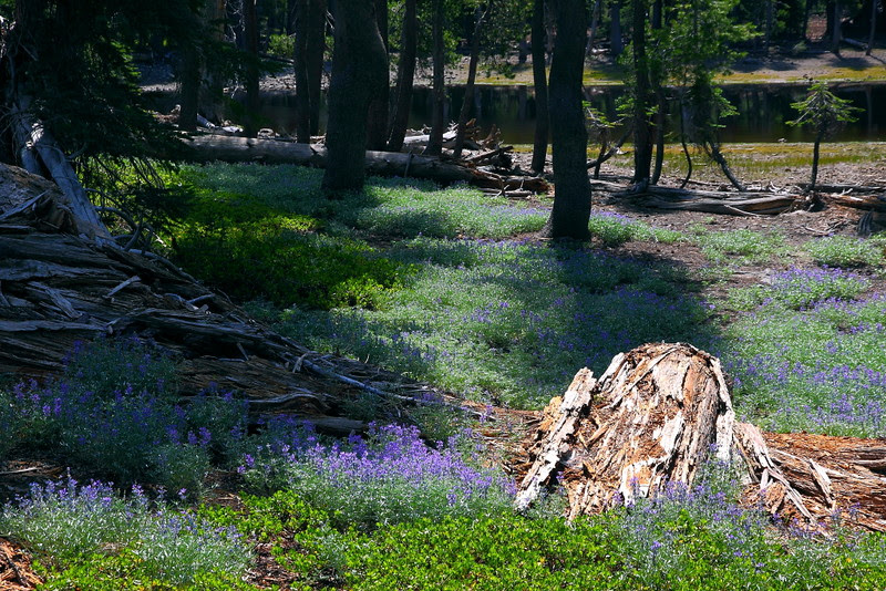 IMG_1127 Lupine, Sifford Lake Trail
