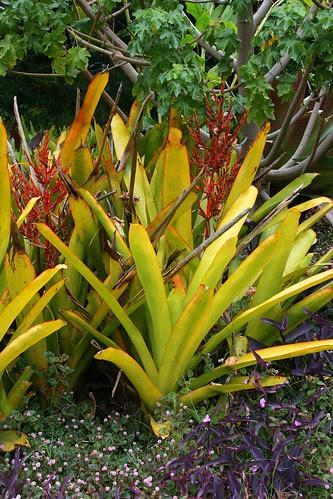 huntington yellow bromiliad