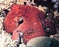 Octopus macropus - The Coral Kingdom Collection.jpg