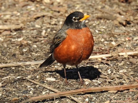 Ed Gaillard: birds &emdash; American Robin, Central Park