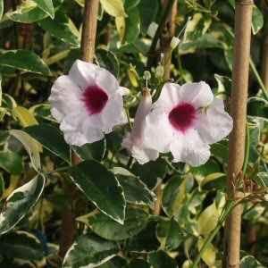 http://www.smgrowers.com/imagedb/Pandorea_variegata.JPG