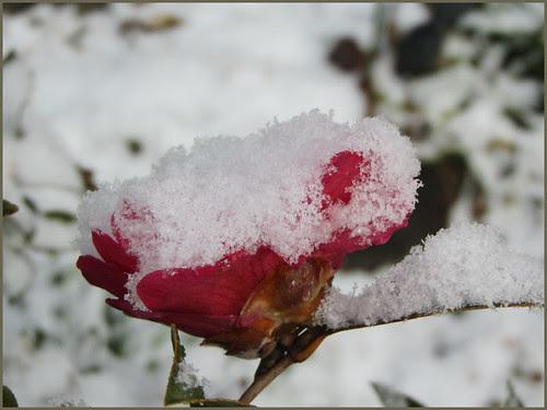 06 camellia full of snow