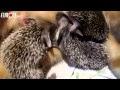 Gata adota bebês ouriços e até dá de mamar aos espinhudinhos